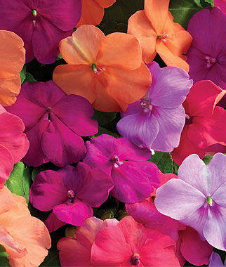 Impatiens, Candy Box 1 Pkt. (30 seeds) Annuals, Annual, Annual Flowers, Annual Flower Seeds, Seeds, Flower Seeds, Cottage Garden Flowers