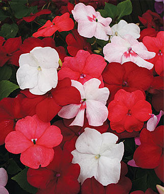 Impatiens, Vanilla And Berries Mix 1 Pkt. (25 seeds) Annuals, Annual, Annual Flowers, Annual Flower Seeds, Seeds, Flower Seeds, Cottage Garden Flowers
