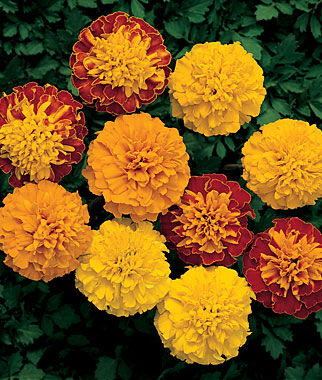 Marigold, Boy O' Boy Mix 1 Pkt. (75 seeds) Annuals, Annual, Annual Flowers, Annual Flower Seeds, Seeds, Flower Seeds, Cottage Garden Flowers