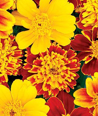 Marigold, Chameleon 1 Pkt. (50 seeds) Annuals, Annual, Annual Flowers, Annual Flower Seeds, Seeds, Flower Seeds, Cottage Garden Flowers