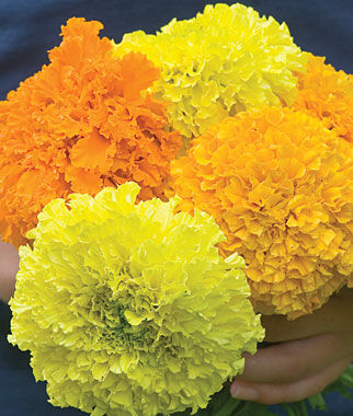 Marigold, Climax Mixed Colors Hybrid 1 Pkt. (50 seeds) Annuals, Annual, Annual Flowers, Annual Flower Seeds, Seeds, Flower Seeds, Cottage Garden Flowers