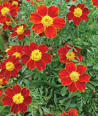 Marigold, Cottage Red 1 Pkt. (50 seeds) Annuals, Annual, Annual Flowers, Annual Flower Seeds, Seeds, Flower Seeds, Cottage Garden Flowers