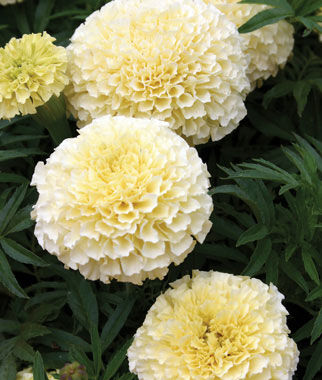 Marigold, French Vanilla Hybrid 1 Pkt. (50 seeds) Annuals, Annual, Annual Flowers, Annual Flower Seeds, Seeds, Flower Seeds, Cottage Garden Flowers