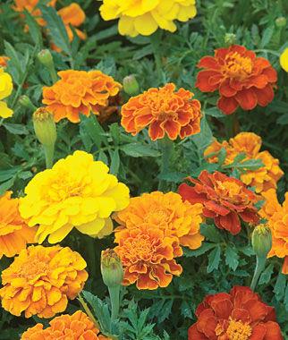 Marigold, Happy Days Mix 1 Pkt. (50 seeds) Annuals, Annual, Annual Flowers, Annual Flower Seeds, Seeds, Flower Seeds, Cottage Garden Flowers