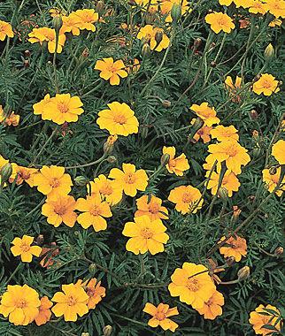 Marigold, Nema-Gone 1 Pkt. (2000 seeds) Annuals, Annual, Annual Flowers, Annual Flower Seeds, Seeds, Flower Seeds, Cottage Garden Flowers