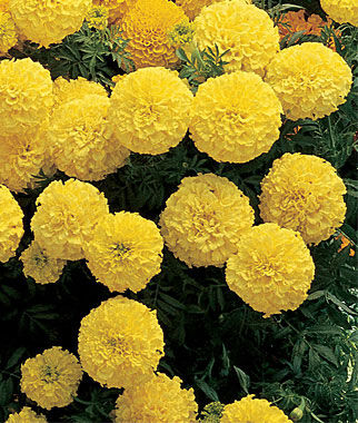 Marigold, Primrose Lady Hybrid 1 Pkt. (50 seeds) Annuals, Annual, Annual Flowers, Annual Flower Seeds, Seeds, Flower Seeds, Cottage Garden Flowers