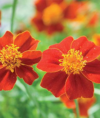 Marigold, Scarlet Starlet 1 Pkt. (100 seeds) Annuals, Annual, Annual Flowers, Annual Flower Seeds, Seeds, Flower Seeds, Cottage Garden Flowers