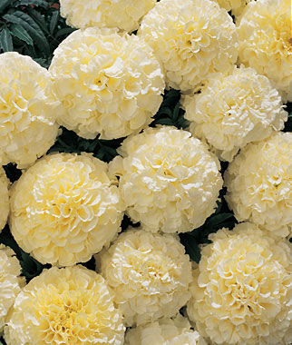 Marigold, Snowball Hybrid 1 Pkt. (50 seeds) Annuals, Annual, Annual Flowers, Annual Flower Seeds, Seeds, Flower Seeds, Cottage Garden Flowers