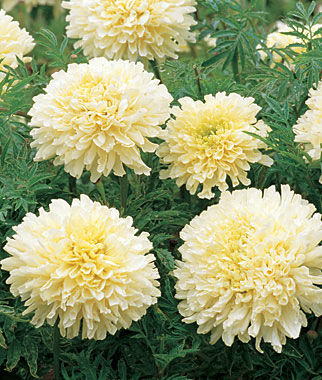 Marigold, Snowdrift 1 Pkt. (50 seeds) Annuals, Annual, Annual Flowers, Annual Flower Seeds, Seeds, Flower Seeds, Cottage Garden Flowers