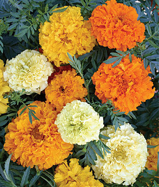 Marigold, Sugar And Spice Mix 1 Pkt. (100 seeds) Annuals, Annual, Annual Flowers, Annual Flower Seeds, Seeds, Flower Seeds, Cottage Garden Flowers