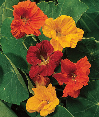 Nasturtium, Double Dwarf Jewel Mix 1 Pkt. (50 seeds) Annuals, Annual, Annual Flowers, Annual Flower Seeds, Seeds, Flower Seeds, Cottage Garden Flowers