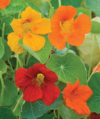Nasturtium, Double Gleam Mixed Colors 1 Pkt. (125 seeds) Annuals, Annual, Annual Flowers, Annual Flower Seeds, Seeds, Flower Seeds, Cottage Garden Flowers