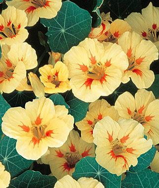 Nasturtium, Peach Melba 1 Pkt. (50 seeds) Annuals, Annual, Annual Flowers, Annual Flower Seeds, Seeds, Flower Seeds, Cottage Garden Flowers