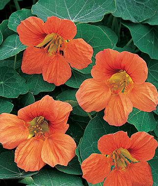 Nasturtium, Vesuvius 1 Pkt. (50 seeds) Annuals, Annual, Annual Flowers, Annual Flower Seeds, Seeds, Flower Seeds, Cottage Garden Flowers