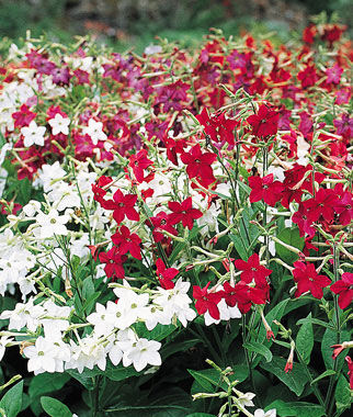 Nicotiana, Heaven Scent 1 Pkt. (50 seeds) Annuals, Annual, Annual Flowers, Annual Flower Seeds, Seeds, Flower Seeds, Cottage Garden Flowers