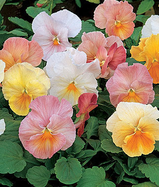 Pansy, Antique Shades Hybrid Mix 1 Pkt. (35 seeds) Annuals, Annual, Annual Flowers, Annual Flower Seeds, Seeds, Flower Seeds, Cottage Garden Flowers