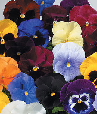 Pansy, Atlas Mix 1 Pkt. (35 seeds) Annuals, Annual, Annual Flowers, Annual Flower Seeds, Seeds, Flower Seeds, Cottage Garden Flowers