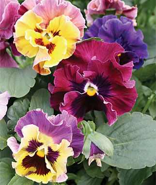Pansy, Moulin Rouge 1 Pkt. (35 seeds) Annuals, Annual, Annual Flowers, Annual Flower Seeds, Seeds, Flower Seeds, Cottage Garden Flowers