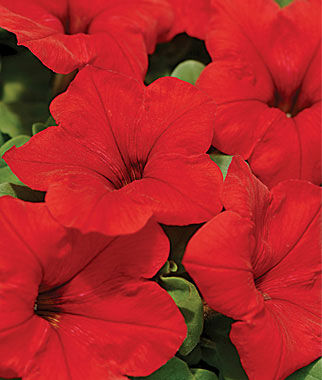 Petunia Easy Wave Red Hybrid 6 Plants Annuals, Annual Flowers, Annual Flower Plants, Flower Plants, Flowering Annuals, Bedding Plants