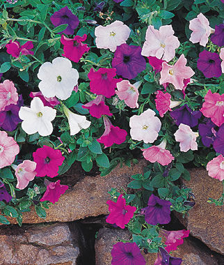 Petunia, Magic Carpet Hybrid Mix 1 Pkt. (30 seeds) Annuals, Annual, Annual Flowers, Annual Flower Seeds, Seeds, Flower Seeds, Cottage Garden Flowers