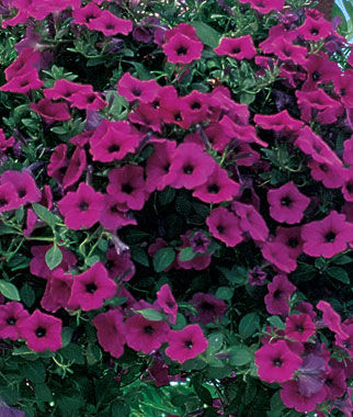 Petunia, Purple Wave Hybrid 6 Plants Annuals, Annual Flowers, Annual Flower Plants, Flower Plants, Flowering Annuals, Bedding Plants