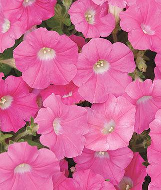 Petunia, Rose Wave Hybrid 1 Pkt. (15 seeds) Annuals, Annual, Annual Flowers, Annual Flower Seeds, Seeds, Flower Seeds, Cottage Garden Flowers