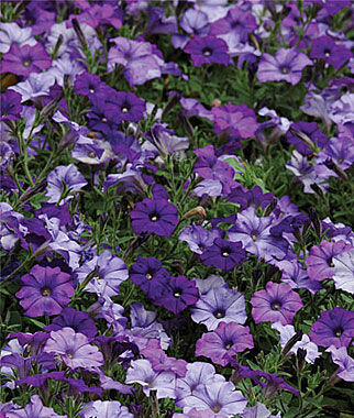 Petunia, Spreading, Shock Wave Denim 1 Pkt. (10 seeds) Annuals, Annual, Annual Flowers, Annual Flower Seeds, Seeds, Flower Seeds, Cottage Garden Flowers