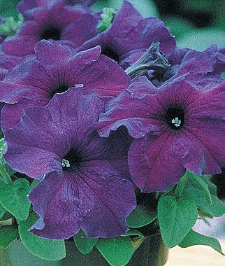 Petunia, Supercascade Blue 1 Pkt. (50 seeds) Annuals, Annual, Annual Flowers, Annual Flower Seeds, Seeds, Flower Seeds, Cottage Garden Flowers