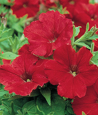 Petunia, Supercascade Red 1 Pkt. (50 seeds) Annuals, Annual, Annual Flowers, Annual Flower Seeds, Seeds, Flower Seeds, Cottage Garden Flowers