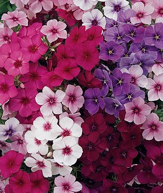 Phlox, Summer Majesty Hybrid Mix 1 Pkt. (50 seeds) Annuals, Annual, Annual Flowers, Annual Flower Seeds, Seeds, Flower Seeds, Cottage Garden Flowers