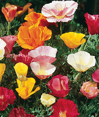 Poppy California, Sunset Mixed Colors 1 Pkt. (500 seeds) Annuals, Annual, Annual Flowers, Annual Flower Seeds, Seeds, Flower Seeds, Cottage Garden Flowers