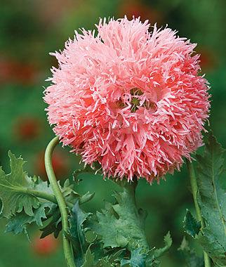 Poppy, Venus 1 Pkt. (300 seeds) Annuals, Annual, Annual Flowers, Annual Flower Seeds, Seeds, Flower Seeds, Cottage Garden Flowers