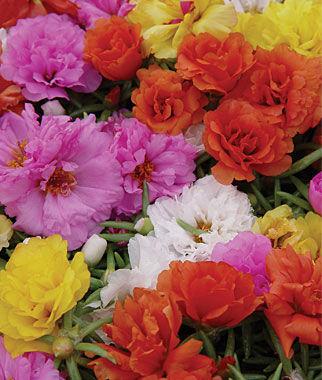 Portulaca, Sundial Hybrid Mix 1 Pkt. (100 seeds) Annuals, Annual, Annual Flowers, Annual Flower Seeds, Seeds, Flower Seeds, Cottage Garden Flowers