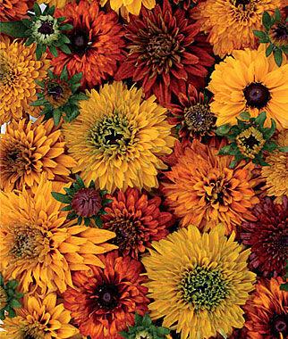 Rudbeckia Hirta Moroccan Sun Mix 1 Pkt. (125 seeds) Perennial, Perennial Flowers, Perennial Flower Seeds, Flower Seeds, Perennial Seeds, Flowers, Seeds