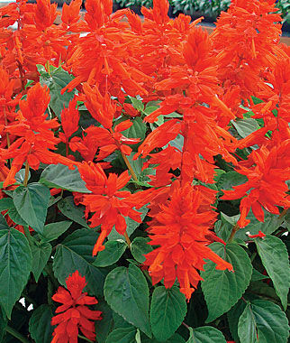 Salvia, Red Hot Mama 1 Pkt. (75 seeds) Annuals, Annual, Annual Flowers, Annual Flower Seeds, Seeds, Flower Seeds, Cottage Garden Flowers