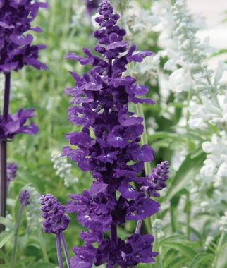 Salvia, Victoria 1 Pkt. (75 seeds) Annuals, Annual, Annual Flowers, Annual Flower Seeds, Seeds, Flower Seeds, Cottage Garden Flowers