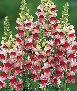 Snapdragon, Plumblossom Hybrid 1 Pkt. (50 seeds) Annuals, Annual, Annual Flowers, Annual Flower Seeds, Seeds, Flower Seeds, Cottage Garden Flowers