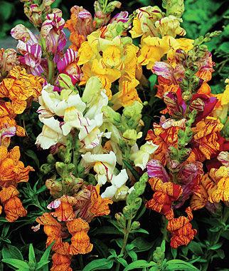 Snapdragon, Tutti Frutti 1 Pkt. (60 seeds) Annuals, Annual, Annual Flowers, Annual Flower Seeds, Seeds, Flower Seeds, Cottage Garden Flowers