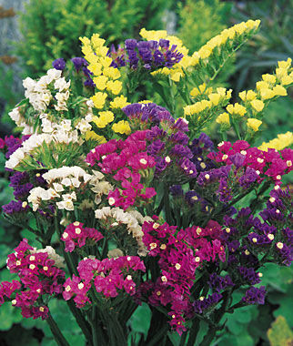 Statice, Mixed Bold Colors 1 Pkt. (75 seeds) Annuals, Annual, Annual Flowers, Annual Flower Seeds, Seeds, Flower Seeds, Cottage Garden Flowers