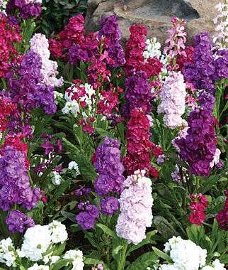 Stock, Harmony Mix 1 Pkt. (100 seeds) Annuals, Annual, Annual Flowers, Annual Flower Seeds, Seeds, Flower Seeds, Cottage Garden Flowers