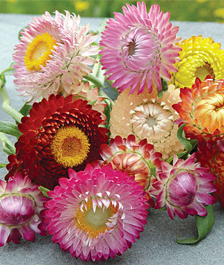 Strawflower, Tall Mixed Colors 1 Pkt. (750 seeds) Annuals, Annual, Annual Flowers, Annual Flower Seeds, Seeds, Flower Seeds, Cottage Garden Flowers