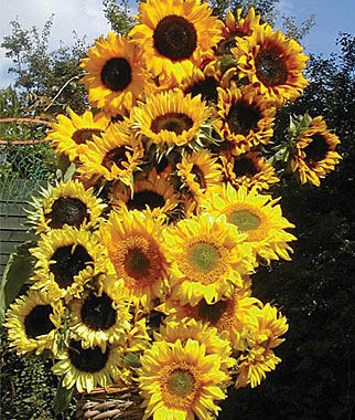 Sunflower Pristine Mix 1 Pkt. (40 seeds) Annuals, Annual, Annual Flowers, Annual Flower Seeds, Seeds, Flower Seeds, Cottage Garden Flowers