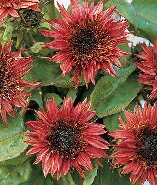 Sunflower, Double Dandy Hybrid 1 Pkt. (25 seeds) Annuals, Annual, Annual Flowers, Annual Flower Seeds, Seeds, Flower Seeds, Cottage Garden Flowers
