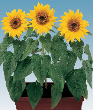 Sunflower, Elf 1 Pkt. (50 seeds) Annuals, Annual, Annual Flowers, Annual Flower Seeds, Seeds, Flower Seeds, Cottage Garden Flowers
