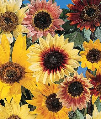 Sunflower, Fantasia Mix Hybrid 1 Pkt. (25 seeds) Annuals, Annual, Annual Flowers, Annual Flower Seeds, Seeds, Flower Seeds, Cottage Garden Flowers
