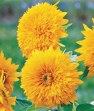 Sunflower, Honey Bear 1 Pkt. (25 seeds) Annuals, Annual, Annual Flowers, Annual Flower Seeds, Seeds, Flower Seeds, Cottage Garden Flowers