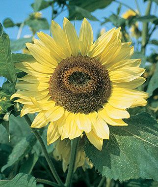Sunflower, Lemon Queen Organic 1 Pkt. (50 seeds) Annuals, Annual, Annual Flowers, Annual Flower Seeds, Seeds, Flower Seeds, Cottage Garden Flowers