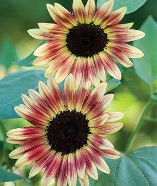 Sunflower, Strawberry Blonde Hybrid 1 Pkt. (25 seeds) Annuals, Annual, Annual Flowers, Annual Flower Seeds, Seeds, Flower Seeds, Cottage Garden Flowers