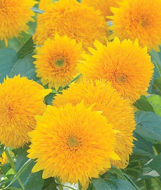 Sunflower, Teddy Bear 1 Pkt. (150 seeds) Annuals, Annual, Annual Flowers, Annual Flower Seeds, Seeds, Flower Seeds, Cottage Garden Flowers