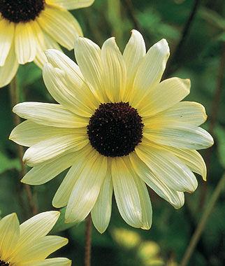 Sunflower, Vanilla Ice 1 Pkt. (50 seeds) Annuals, Annual, Annual Flowers, Annual Flower Seeds, Seeds, Flower Seeds, Cottage Garden Flowers